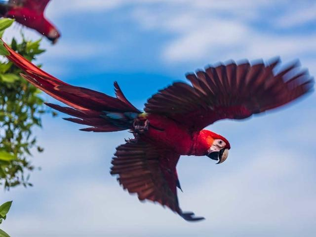 See the Scarlet Macaw in Costa Rica