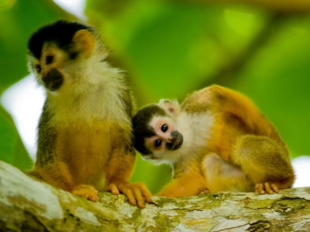 See adorable monkeys in Costa Rica