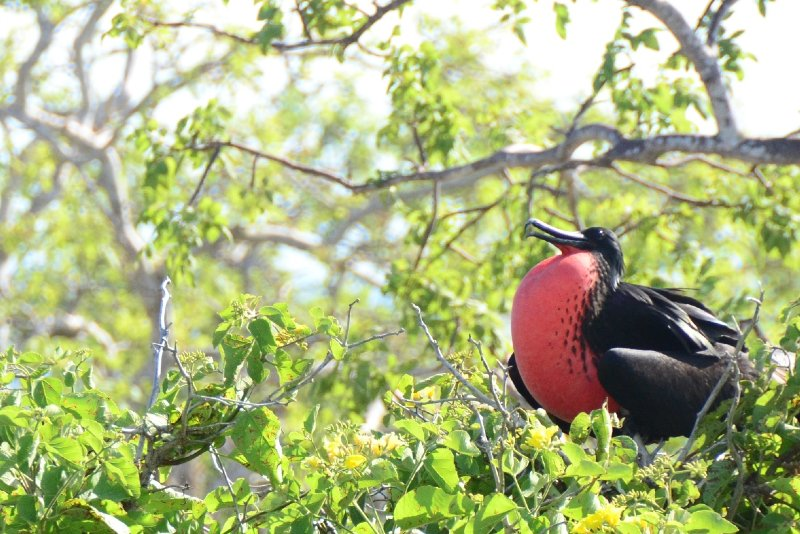 Native Frigate bird inflating its pouch during the breeding season.