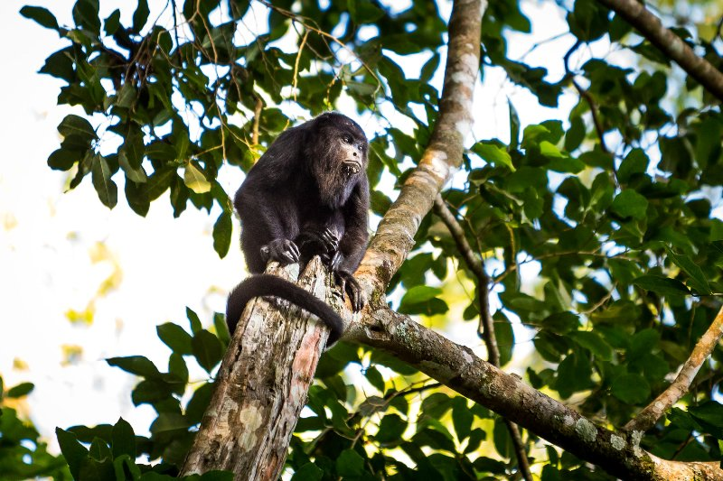 Howler monkeys protecting the secrets of the jungle