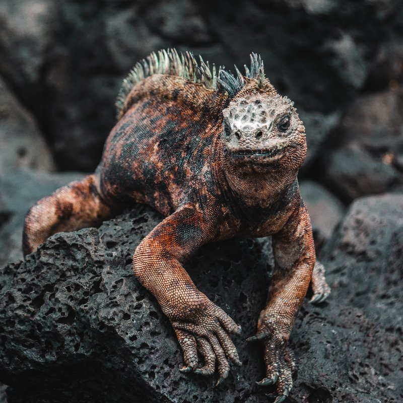 The Galapagos contains the largest population of marine iguanas