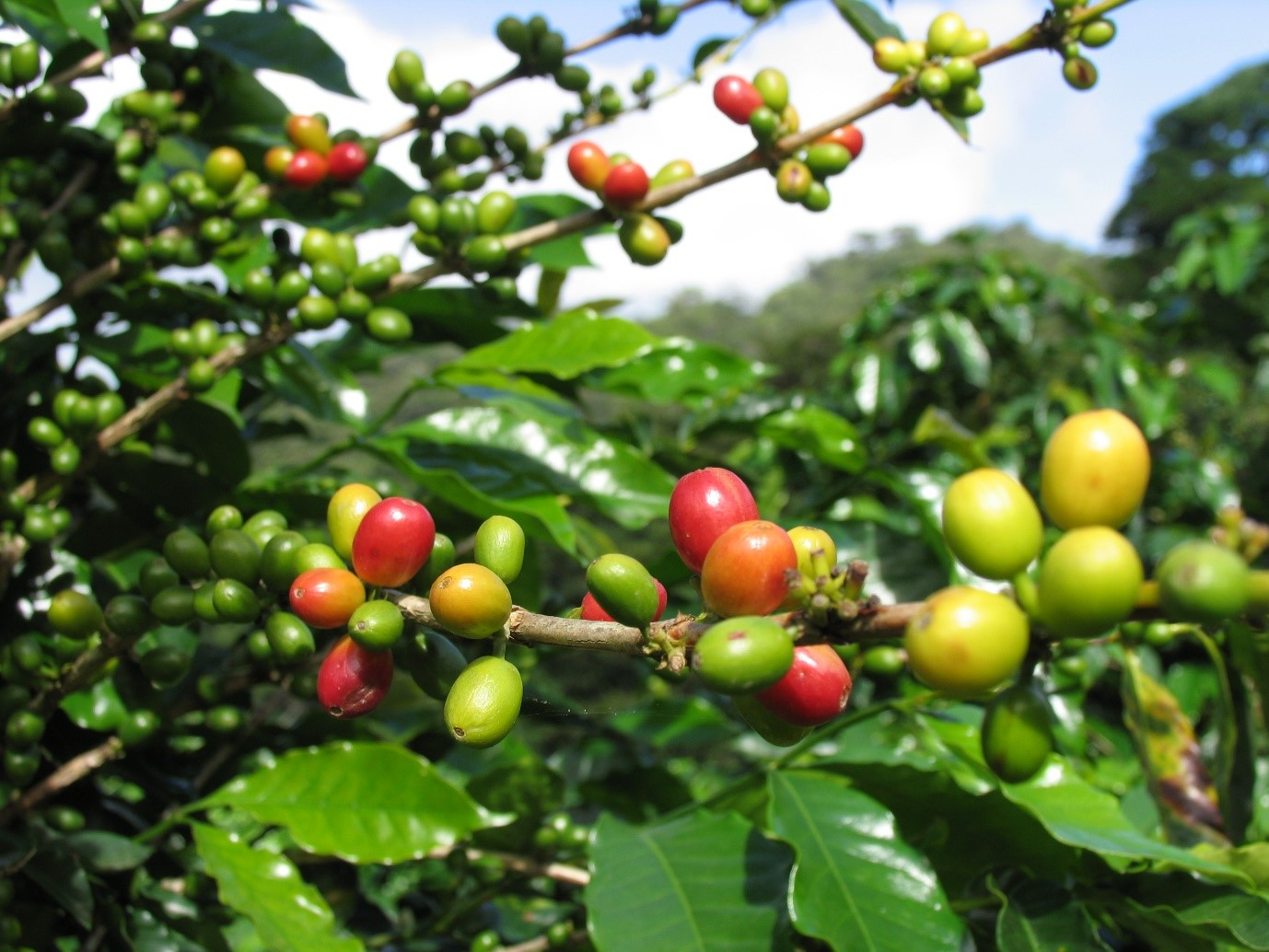 Drink some of the most delicious coffee in the entire world in Monteverde
