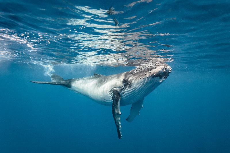 Enjoy Humpback Whale Season off the coast of the Pearl Islands